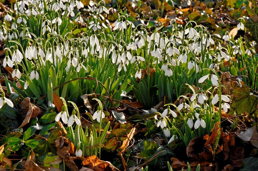 Blühende Schneeglöckchen durchbrechen eine Laubdecke. Galanthus nivalis