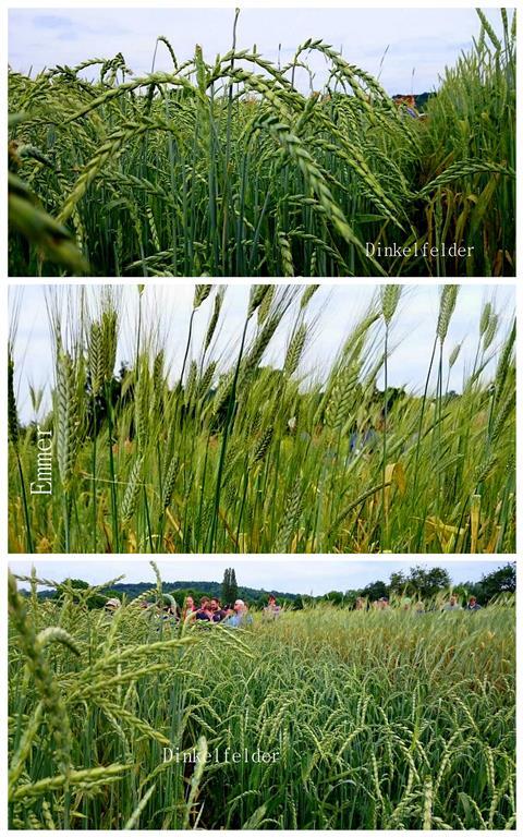 Bio Dinkel-, und Bio Emmerfelder in Durlach