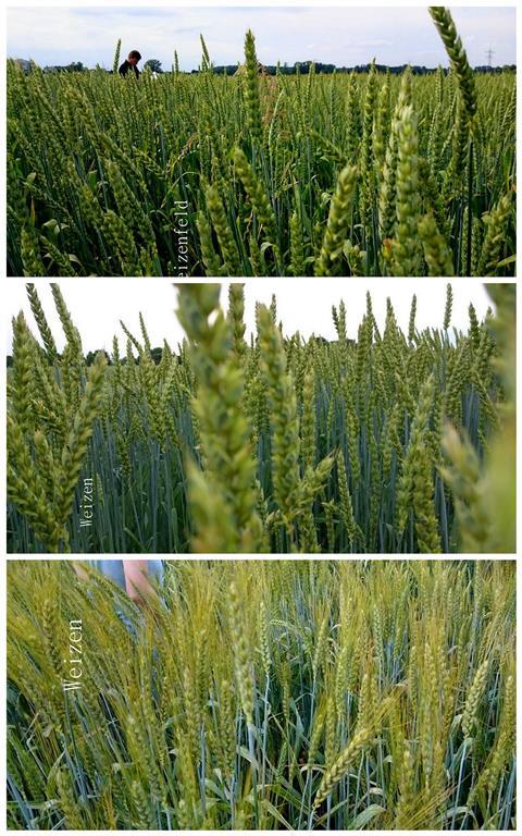 Dinkel,- Emmer,- und Weizenversuchsfelder