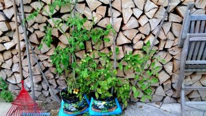 Tomatenaufzucht Hannas Töchter