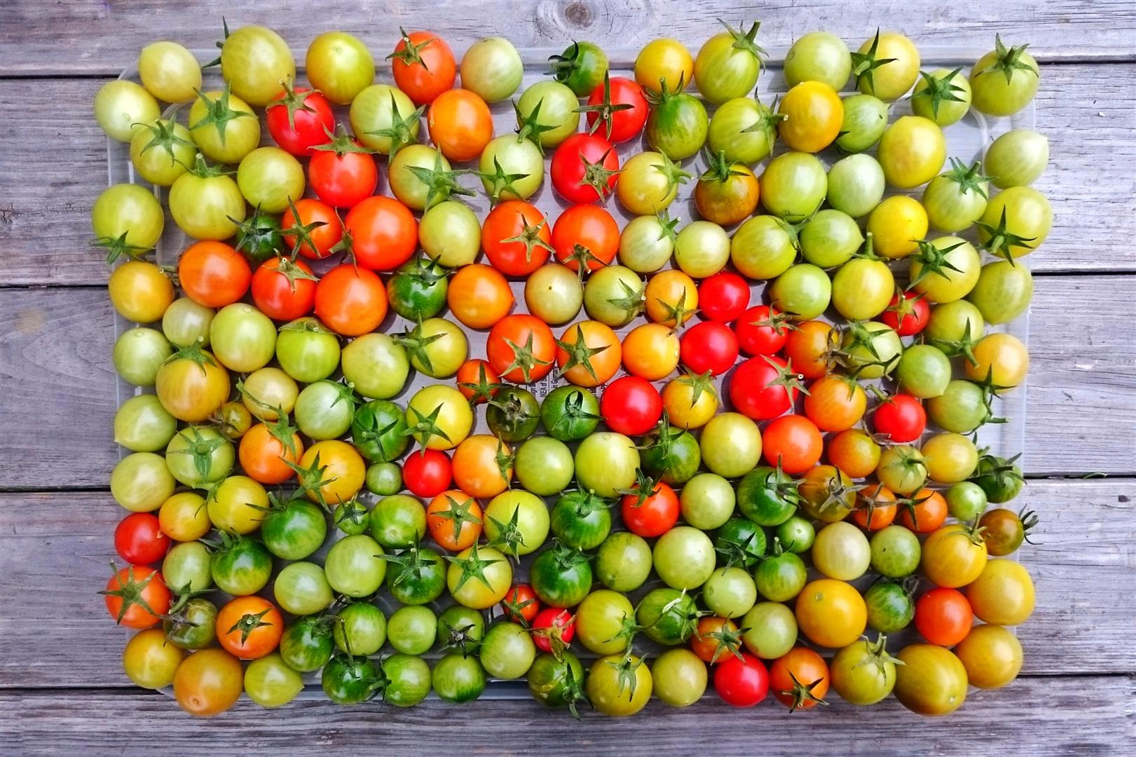 werden grüne tomaten noch rot