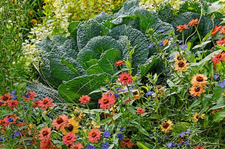 Wirsing im Gemüsebeet