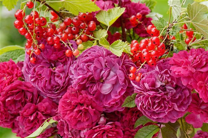 Rose Charles de Mills