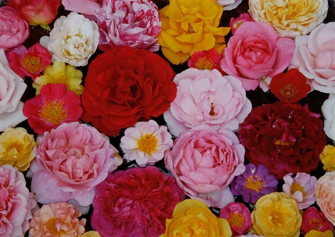 essbare Rosen