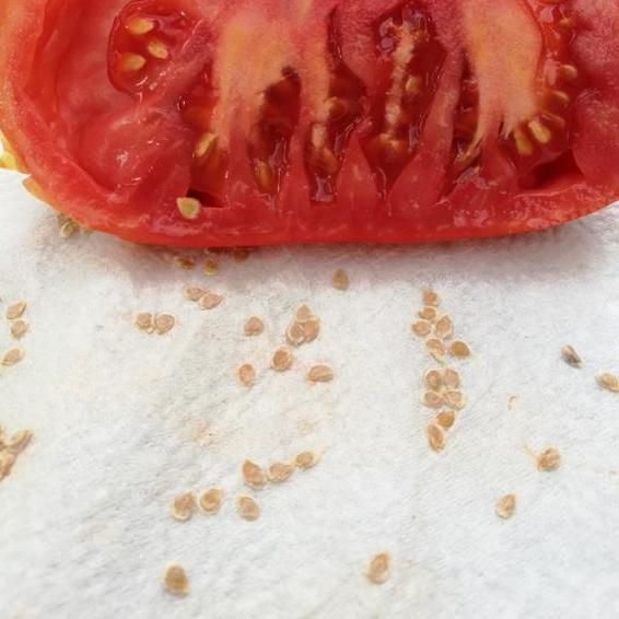 saatgutgewinnung bei tomaten hannas t chter. Black Bedroom Furniture Sets. Home Design Ideas